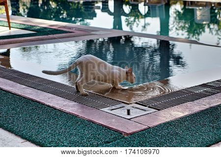 Shorthair cat skinny cream colored drinks water from the swimming pool outdoors in summer day.