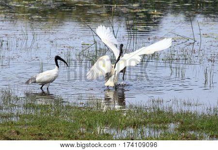 Fighting males of Black-headed Ibis also called Oriental white Ibis Threskiornis melanocephalus lake in national park Wilpattu Sri Lanka