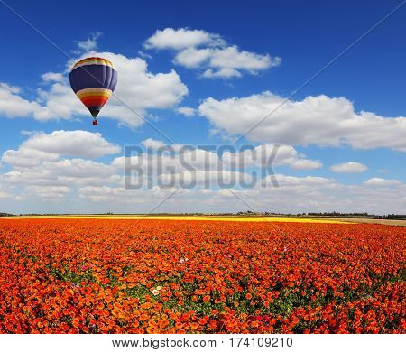Concept of extreme and rural tourism. The multi-color balloon slowly flies over blossoming fields of garden buttercups. Light clouds portend a warm day