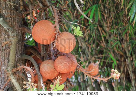 Shorea robusta or Cannonball  tree with copy space add text