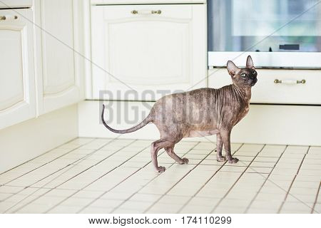 Pregnant Sphynx cat standing on kitchen tile floor and looking away with unhappy expression