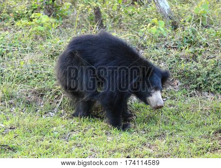 Sloth bear scratching himself also called Stickney bear and labiated bear lat. Melursus ursinus national park Wilpattu Sri Lanka
