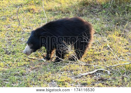 Sloth bear also known as stickney bear and labiated bear lat. Melursus ursinus late afternoon in national park Wilpattu Sri Lanka