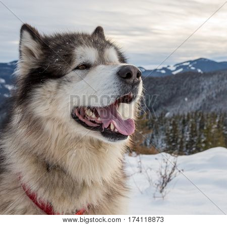 Alaskan Malamute in the snow-capped mountains Carpathians