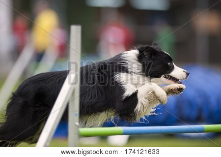 Proud purebred dog border collie jumping over hurdle on agility competition. He is very obedient and has nice jumping style with paws up. He is concentrated to the next command and obstacle.