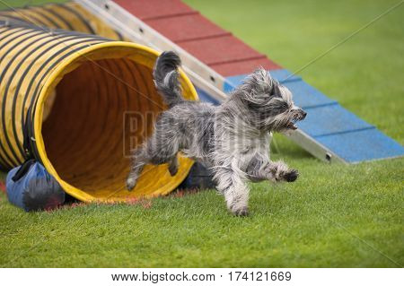 Cute small dog running on agility competition. He came out of yellow tunnel. Enjoying his fun time running and playing. He is purebred Pyrenean sheepdog.