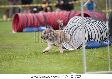 Belgian Shepherd Dog Laekenois dog on agility course. It is rare breed that you see it running on agility competition. He has rough coat light fawn to red brown with black shading.