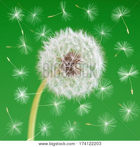 Dandelion flower with flying seeds on green background. One object isolated. Spring concept.