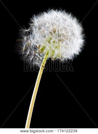 Dandelion flower on black background. One object isolated on dark.