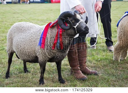 NEWBURY, UK - SEPTEMBER 21: A Champion sheep is placed into position for the public to view during the Grand Livestock finale at the Berks County show on September 21, 2014 in Newbury
