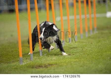 Border Collie running very fast through a pole object on agility competition.