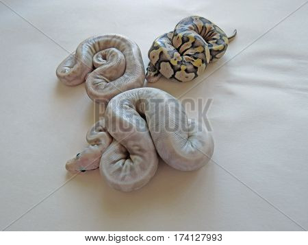 Three Baby Royal / Ball Pythons from the same batch of eggs, two flesh coloured and one yellow and black, on a white background.
