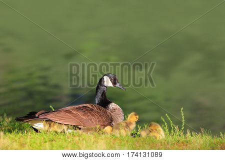 Canadian Goose and Goslings by the pond