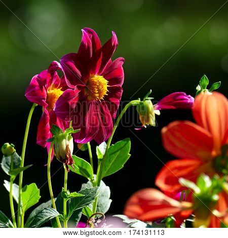 Multicolored Dahlias on the dark green blurry background