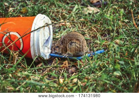 Little rat sitting near plastic cup thrown on the grass