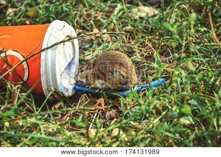 Little rat eating remains on thrown on the grass plastic cup