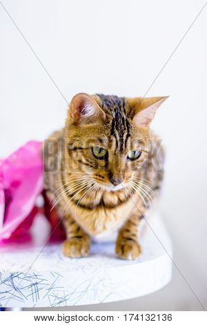 cute beautiful Bengal cat set on the table,