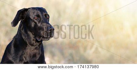 Website banner of a happy Labrador retriever dog