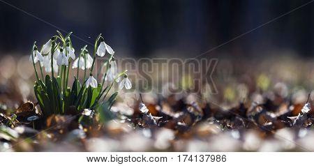 Website banner of white snowdrop flowers in spring