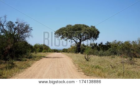 Umbrella Thorn Acacia in Kruger National Park in Mpumalanga province in South Africa, sand piste through the bushland, blue cloudless sky,