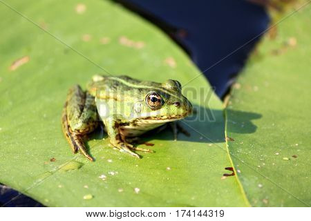 Green frog on green lily leaf in summer close-up