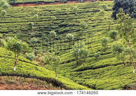 Scenic view of tea plantation in mountain region of Sri Lanka