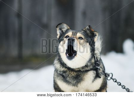 portrait of a funny dog angrily barks in the yard