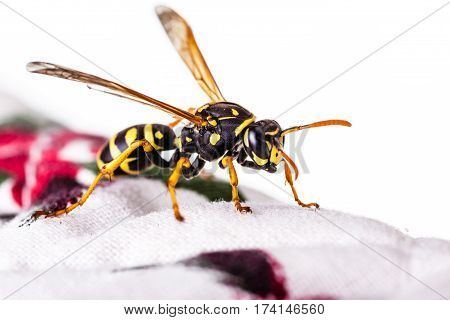 Hornet On Tablecloth