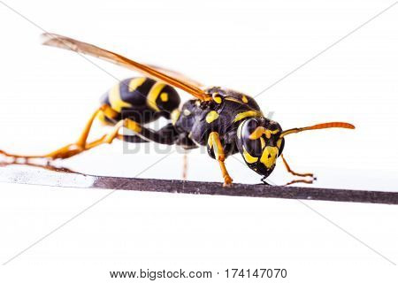 Wasp On A Metal Surface