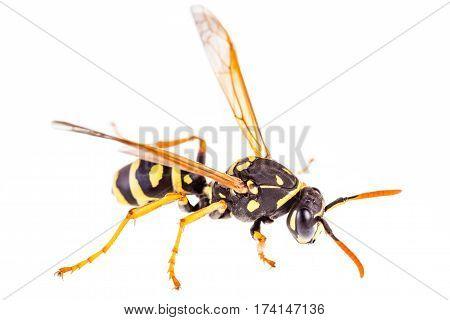 Isolated Wasp Macro
