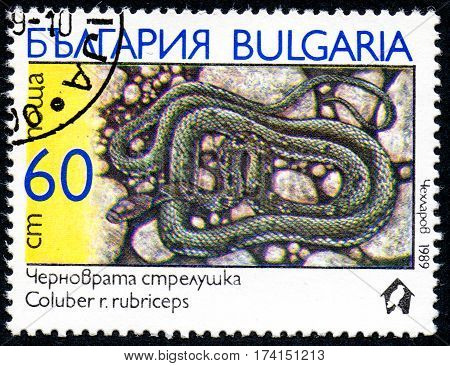 UKRAINE - CIRCA 2017: A stamp printed in Bulgaria shows the image snake with the description Coluber r.rubriceps from the series Snakes circa 1989