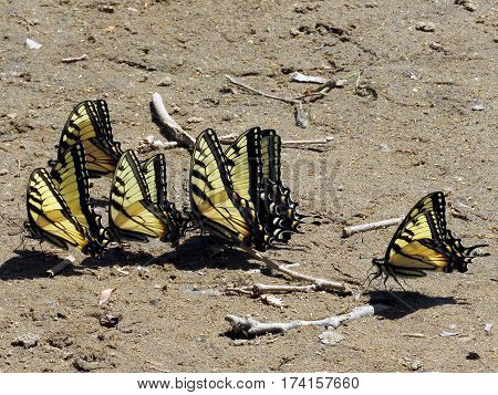 Six Eastern Tiger Swallowtail Butterflies on the banks of the Potomac River near Washington DC 20 April 2016 USA