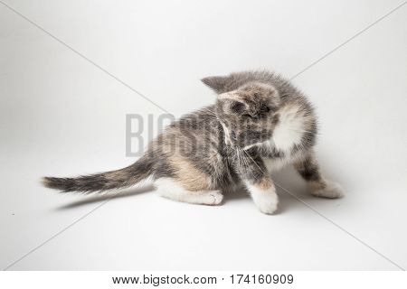 Little inquisitive kitten tricolor is studying his tail on a white background