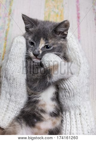 Woman holds a cute the kitten in the hands on which are dressed the white knitted mittens. Close-up.