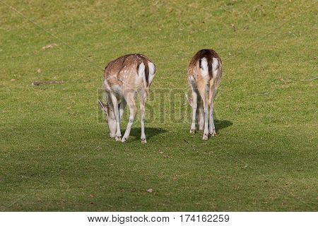 photo of two female Fallow deer grazing on green grass with shadows of a big tree in the foreground.
