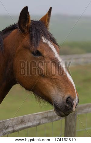 photo portrait of a beautiful little chestnut pony standing over a fence looking at something