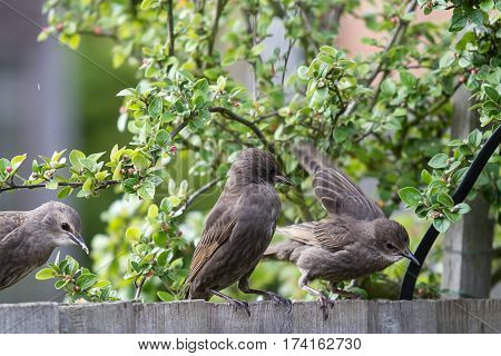 photo of aground of starling fledglings standing on a wooden fence