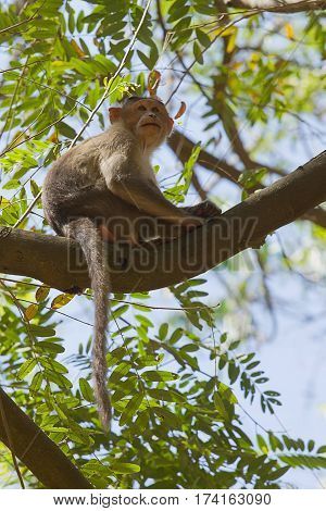 photo of a young Bonnet Macaque sitting on a branch of a tree looking at something.
