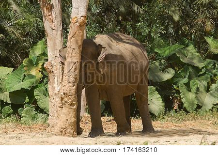 photo of an adult Asian Elephant leaning up against a tree in the shade