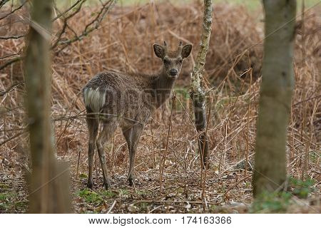 photo of a young male Sika deer standing at the edge on a forest