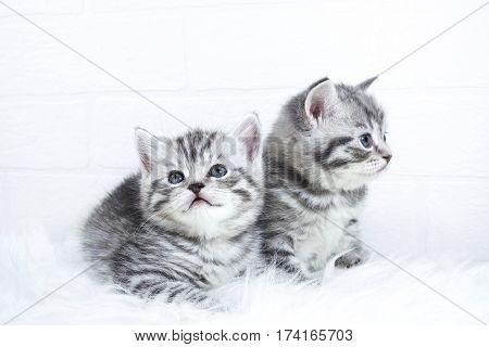Scottish baby  kittens Whiskas striped color portrait