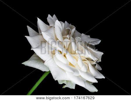 Closeup To White Rose/ Rosa Hybrids On Black Background