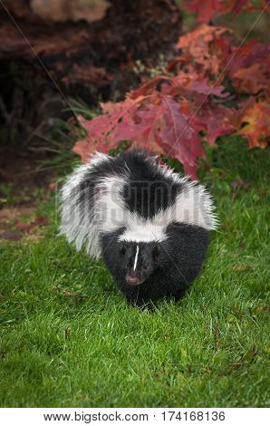 Striped Skunk (Mephitis mephitis) Waddles Forward - captive animal