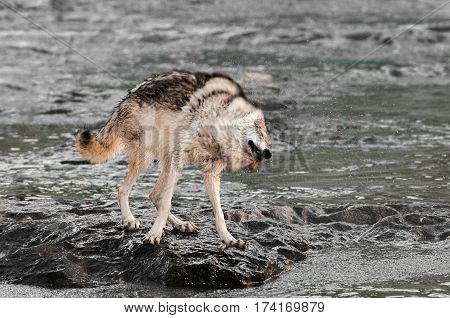 Grey Wolf (Canis lupus) Shakes Off On Rock in River - captive animal