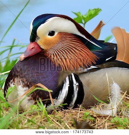 cute colorfull male of mandarin duck, pond in Kromeriz