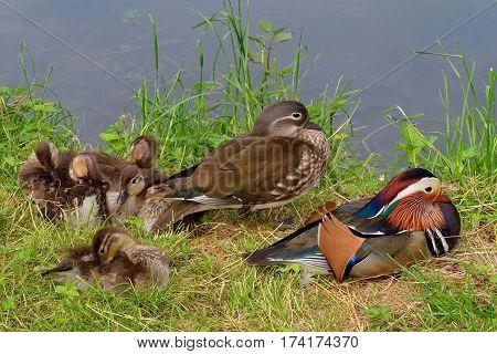 happy family of mandarin duck,pond in Kromeriz,Czech republic