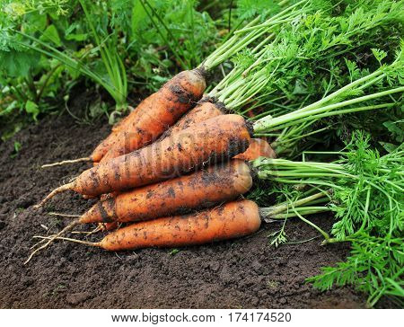 Harvesting carrots. Fresh carrots lying on ground. Fresh carrots picked from the garden.Organic food concept.