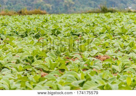 Tobbaco plantation in Bueng khan Thailand .