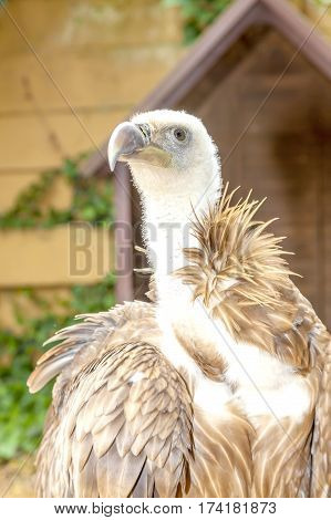 Vulture, bird of prey with a stern look