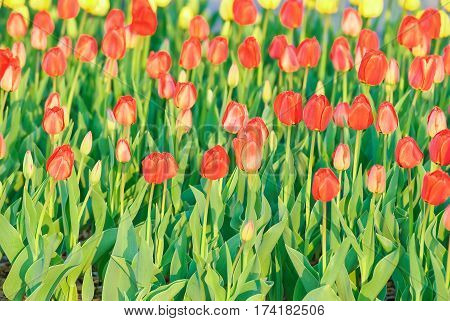 A lot of red tulips (Tulipa). Background